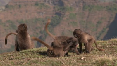 Gelada baboon kids fight playfully on the edge of the cliff, UHD 50fps