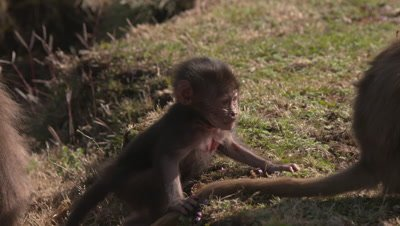 Gelada baboon baby tumbles and plays, gets cuddled UHD