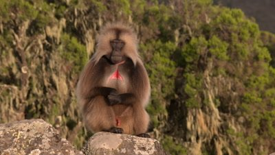 Gelada baboon male shows teeth and red chest, UHD
