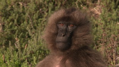 Gelada baboon, female portrait, UHD
