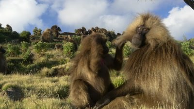 Gelada baboons, couple remove fleas from each other, UHD