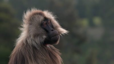 Gelada baboon, male portrait, UHD