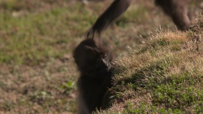 Gelada baboon,kids play, step on head, UHD 50fps