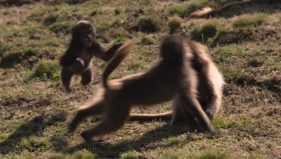 Gelada baboon, kids play with each other, UHD 50fps
