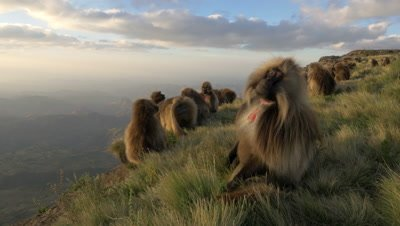 Gelada baboon herd, sit on the edge of the cliff, UHD