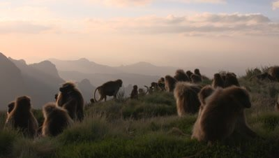 Gelada baboon herd, sunset at cliff, UHD