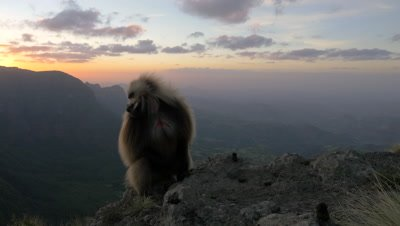 Gelada baboon, male at sunset cliff, UHD