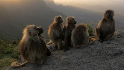 Gelada baboon family flees at sunset cliff, UHD