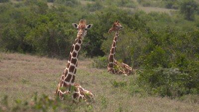 Giraffes lying in the gras, UHD