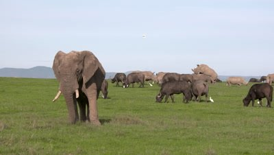 Elephant, Buffalos and copulating Rhino on green grass, UHD