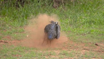 Helmeted  Guineafowl having dustbath, UHD