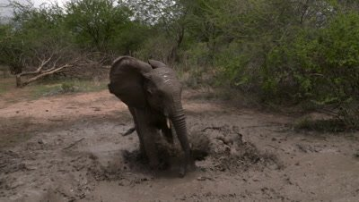 African elephant baby splashing water in waterhole, UHD
