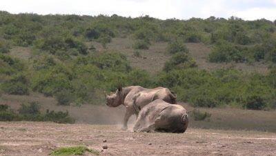 Black rhinos having dustbath, wide, HD 50fps