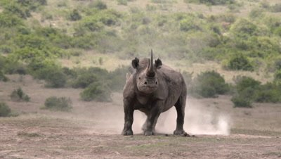 Black rhinos having dustbath, alert, getting up, HD 50fps