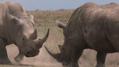 White rhinos fighting, medium OS CU, slow motion 150fps