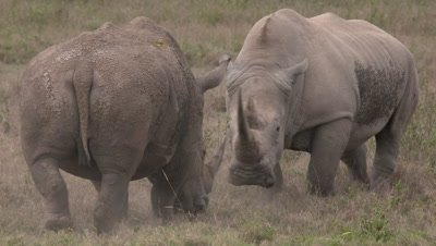 White rhinos cross axis and fight medium OS CU, slo motion, HD 50fps