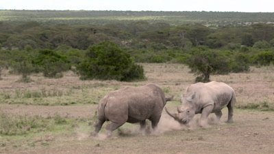White rhinos fighting, side long shot, slow motion 150fps