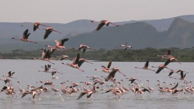 Greater flamingos start to fly, HD slow motion 50fps