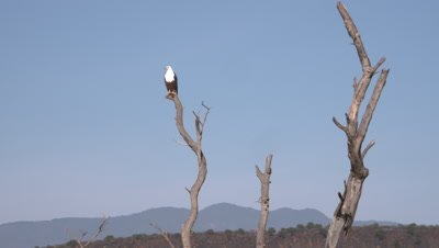 African fish eagle sits on tree, sideways move 4k