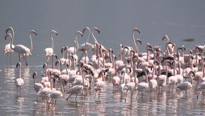Greater flamingos watch, wade and start to fly, HD slow motion 50fps