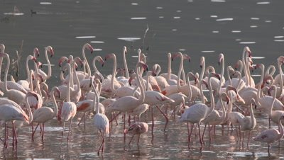 Greater flamingos wade in african lake, HD slow motion 50fps