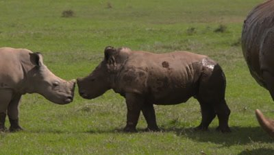 White rhinos with their babies, 4k pan