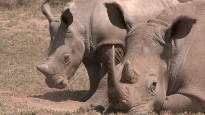 White rhino breathes dust and rests with baby, HD slow motion pan
