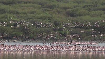 Big flock of greater flamingos, flying and standing in an african lake, HD slow motion 96fps