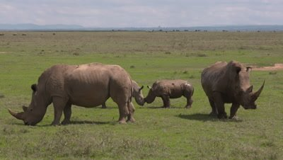 White rhinos with babies, babies touch each other with noses, 4k