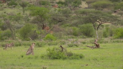 3 cheetahs, one sits and watches, 2 walk in the background, 4k