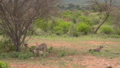 3 cheetahs rest, one is arriving, 4k