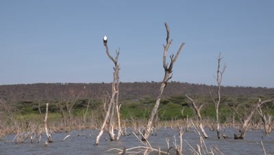 African fish eagle sits on tree, wide sideways move 4k