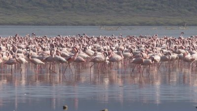 Flock of greater flamingos in an african lake, 4K