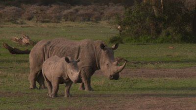 White rhino with baby in warm afternoon light