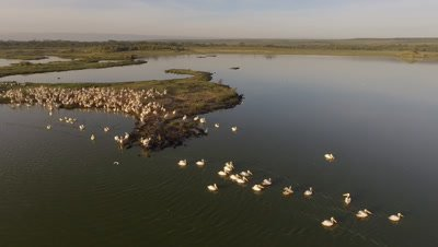 Pelicans on island in early morning light, 4k Aerial