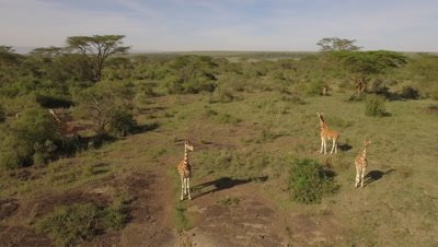 Giraffes in bushland, semi circular move in the morning light, 4k Aerial