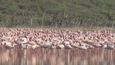 Big flock of flamingos walking in african lake, UHD 4K