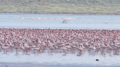 Big flock of flamingos, walking in african lake, UHD 4K