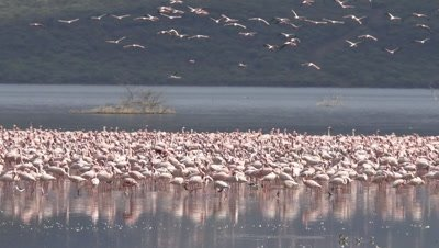 Big flock of flamingos, with flying and landing animals in the background, HD 96fps