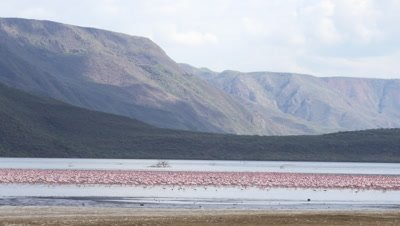 Large flock of flamingos in african lake, wide shot UHD 4K