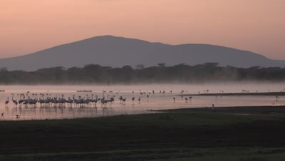 Greater flamingos at sunrise, mist over lake, UHD 4K