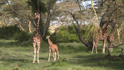 Group of Giraffes with baby in acacia forest, UHD 4K