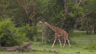 Young giraffes in acacia forest, UHD 4K