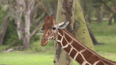 Young giraffe walking in acacia forest, slow motion close up