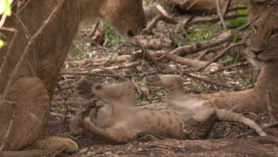 Lion cub is playing with the tail of older lion, medium shot UHD 4K