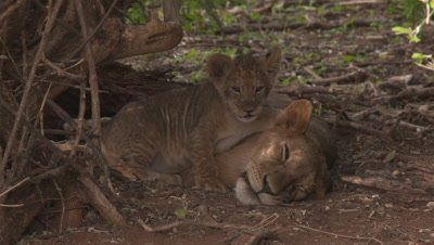 Lion cub is playing with older lion, very cute and fun to watch, UHD 4K