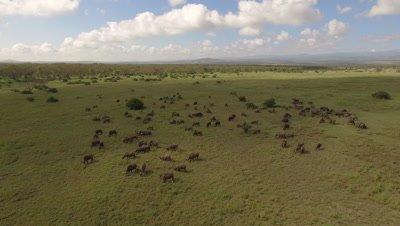 Big herd of buffalos on green african grassland, morning light, 4k Aerial