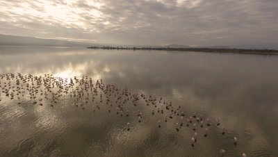 Flamingos in lake, early morning light, 4k Aerial