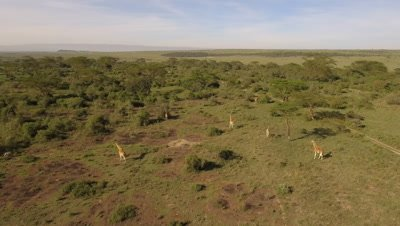East african bushland, approaching move towards giraffes in morning afternoon light, 4k Aerial