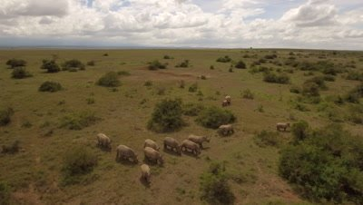 Move with a group of White rhinos in bushland, 4k Aerial